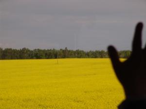 Campos amarillos desde la ventana.